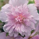 Guarantee 25 Double Light Pink Hollyhock Seeds Perennial Giant Flower Seed Flowers 824