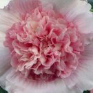 Guarantee 25 Double Purple White Hollyhock Seeds Perennial Giant Flower Seed Flowers 630