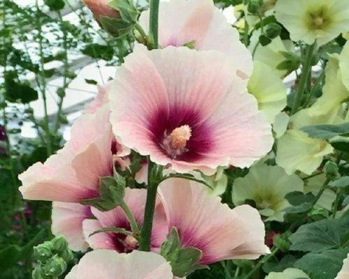Guarantee 25 Pink White Hollyhock Seeds Perennial Giant Flower Garden Seed Flowers 322