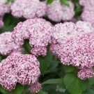 Guarantee 5 Light Pink Hydrangea Seeds Perennial Hardy Garden Shrub Flower Bush Seed 873