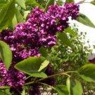 Guarantee 25 Dark Purple Lilac Seeds Tree Fragrant Hardy Perennial Flower Shrub Garden 368