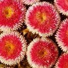 Guarantee Aster Pompon Hi-no-maru Flower Seeds Callistephus Pompon 50 Seeds