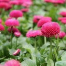Guarantee English Daisy Rose Flower Seeds Bellis Perennis 200 Seeds