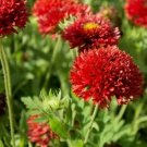 Guarantee Gaillardia Sundance Red Flower Seeds Gaillardia Pulchella 50 Seeds
