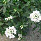 Guarantee Candytuft Snow White Flower Seeds Iberis Sempervirens 50 Seeds
