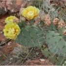 Guarantee Tulip Prickly Pear Cactus Seeds Opuntia phaeacantha 20 Seeds