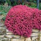 Guarantee Rockcress Cascading Red Flower Seeds Aubrieta Hybrida 50 Seeds