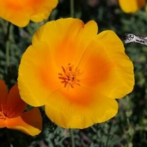 Guarantee Poppy California Orange Flower Seeds Eschscholzia Californica 200 Seeds