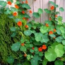 Guarantee Nasturtium Spitfire Flower Seeds Tropaeolum Lobbianum 20 Seeds