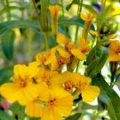 Guarantee Mexican Mint Herb Seeds Tagetes Lucida 50 Seeds