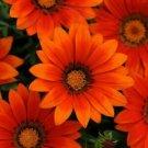 Guarantee Gazania Garden Leader Bronze Flower Seeds Gazania Rigens 10 Seeds