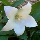 Guarantee Balloon Flower White Seeds Platycodon Grandiflorus White 50 Seeds