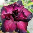 Guarantee 4 Magenta Black Desert Rose Seeds Adenium Obesum Flower Exotic  Free Shipping