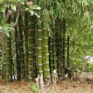 Guarantee 50 Giant Thorny Bamboo Seeds Privacy Climbing Garden Clumping Shade Seed 559