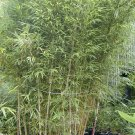 Guarantee 50 Chilean Weeping Bamboo Seeds Privacy Garden Clumping Seed Shade Screen 759