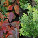 Guarantee Fragrant Sumac Tree Seeds Rhus aromatica 25 Seeds