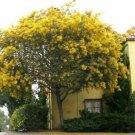 Guarantee Golden Mimosa Tree Seeds Acacia Baileyana 20 Seeds