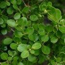Guarantee Chinese Boxwood Hedge Seeds Buxus microphylla sinica 20 Seeds