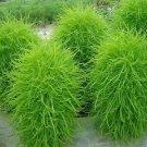 Guarantee Kochia Burning Bush Seeds Kochia Trichophylla 100 Seeds
