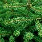 Guarantee Black Hills Spruce Tree Seeds Picea glauca Densata 25 Seeds