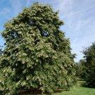 Guarantee Silver Linden Tree Seeds Tilia tomentosa 10 Seeds