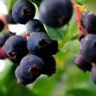 Guarantee Saskatoon Serviceberry Bush Seeds Amelanchier alnifolia Smokey 40 Seeds
