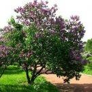 Guarantee French Lilac Bush Seeds Syringa vulgaris 20 Seeds