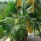 Guarantee Chinese Fan Palm Seeds Livistona chinensis 5 Seeds