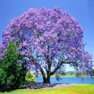 Guarantee Blue Jacaranda Tree Seeds Jacaranda mimosifolia 30 Seeds