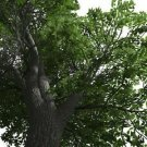 Guarantee American White Ash Tree Seeds Fraxinus americana 25 Seeds