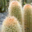 Guarantee RARE WEBERBAUEROCEREUS JOHNSONII cacti cactus seed 20 SEEDS