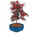 Guarantee maple RED JAPANESE or bonsai tree 100 SEEDS