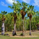 Guarantee RARE WASHINTONIA ROBUSTA  mexican fan palm tree ornamental palms seed 25 seeds