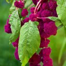 Guarantee RARE AMARANTHUS CAUDATUS love lies bleeding  exotic flowering seed 15 seeds