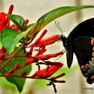 Guarantee RARE HAMELIA PATENS firebush attract hummingbirds and butterflies seed 15 seeds