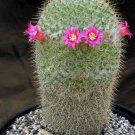 Guarantee RARE MAMMILLARIA COLUMBIANA exotic cacti pincushion cactus seed 20 SEEDS