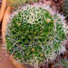Guarantee RARE MAMMILLARIA CAMPTOTRICHA decipiens exotic cacti cactus seed plant 20 SEEDS