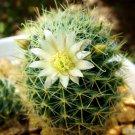 Guarantee RARE MAMMILLARIA WILDII j exotic cacti pincushion cactus seed 20 SEEDS