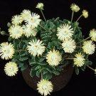 Guarantee Aloinopsis Malherbei rare succulent ice plant mesembs living stone seed 50 SEEDS