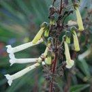 Guarantee RARE SINNINGIA TUBIFLORA  exotic color flowering hybrid succulent seed 20 SEEDS