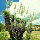 Guarantee RARE YUCCA ELATA j exotic succulent cactus soaptree aloe agave garden 15 SEEDS
