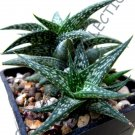 Guarantee RARE ALOE DESCOINGSII j agave healing medicinal succulent plant seed 10 SEEDS