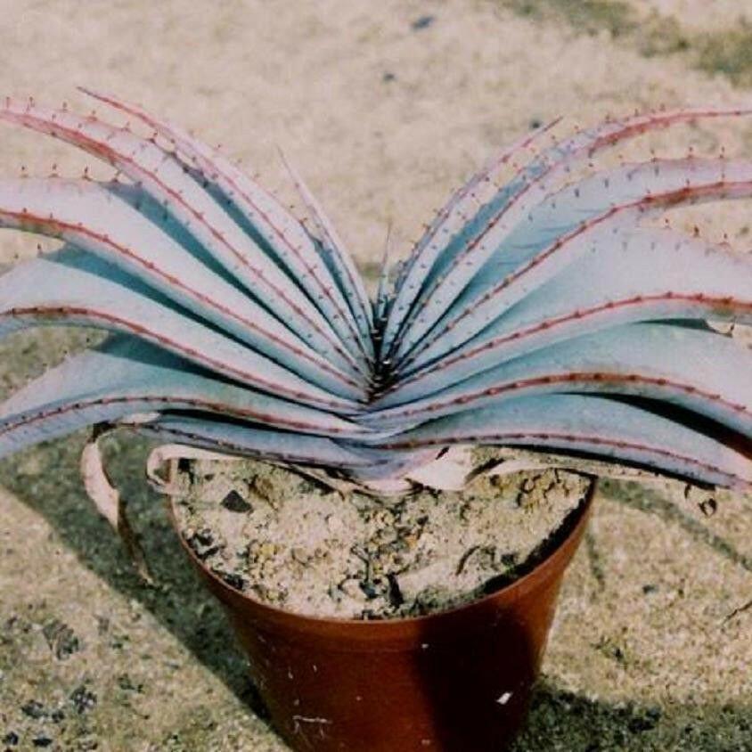 Guarantee RARE ALOE SUPRAFOLIATA  exotic cacti xeriscaping succulent cactus seed 10 SEEDS