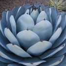 Guarantee RARE AGAVE PARRYI TRUNCATA succulent artichoke plant exotic garden seed 15 SEEDS