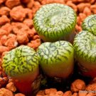 Guarantee RARE CONOPHYTUM OBCORDELLUM SSP CERESIANUM  living stones mesemb cacti 15 SEEDS