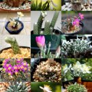 Guarantee EXOTIC AVONIA MIX variety rare flowering succulent cactus plant seed  15 SEEDS