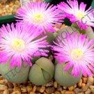 Guarantee RARE GIBBAEUM HEATHII living stones exotic rock ice plant mesembs seed 20 SEEDS