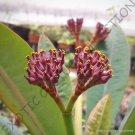 Guarantee EUPHORBIA PACHYPODIOIDES  exotic rare succulent cactus cacti plant seed 5 SEEDS
