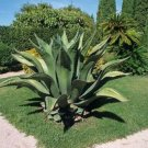 Guarantee AGAVE FEROX century plant hardy exotic succulent big aloe rare seed 15 SEEDS