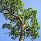 Guarantee Cedrela Odorata CEDRO spanish cedar timber tree tropical aromatic wood 15 seeds